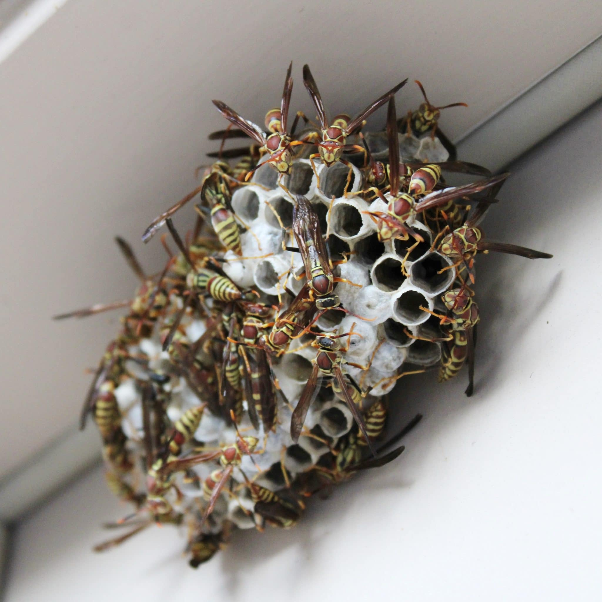 Wasps and bees, like other pests, can pose a risk during crawlspace inspections.
